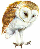 North American Barn Owl Barn Owl Questions And Answers