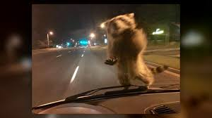 photos show raccoon hitching ride on policeman u0027s windshield