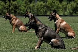 belgian sheepdog houston tx inside the new mta k 9 training center in stormville new york