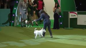 boxer dog crufts 2014 crufts 2017 winners latest dog winners list in full nature