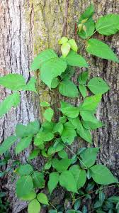is this poison ivy state by state gardening web articles