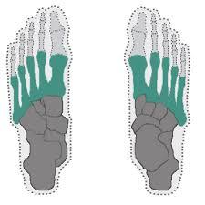 Anatomy Of The Human Body Bones Foot Bones Anatomy Of Foot In The Human Body Learn Bones
