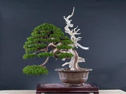 573 best bonsai images on bonsai trees plants and