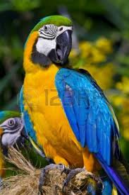 78 best parrots images on pinterest parrot tattoo animals and