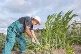 farmer working his urban vegetable garden u2014 stock photo