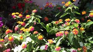 Fragrant Patio Plants Fragrant Plant Series Lantana Full Sun Fragrant Flowers Great