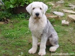 belgian sheepdog hypoallergenic 78 best livestock guardian herding dogs images on pinterest