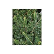 cut fraser fir real tree 6 7ft at homebase co uk