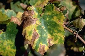 Plant Disease Journal - pierce u0027s disease costs california 104 million per year