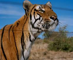 the south china tiger is functionally extinct stuart bray has 19 south china tiger