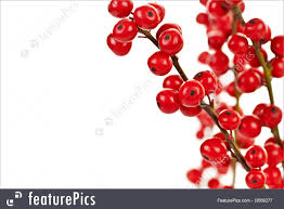 plants red christmas berries stock picture i3009277 at featurepics