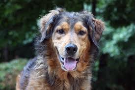 belgian sheepdog golden retriever mix golden retriever german shepherd husky mix laura williams
