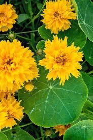 nasturtium flowers how to grow nasturtiums in your garden gardener s path