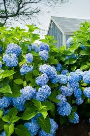 flower hydrangea hydrangea care how to grow hydrangeas garden design