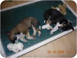 australian shepherd queensland heeler mix puppies roger adopted puppy thatcher az australian cattle dog