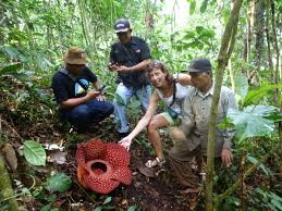 rafflesia biggest flower in the world indonesia safe and