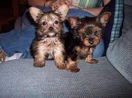 affenpinscher dogs for sale affenpinscher for sale petsale inc