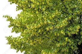 lime tree blossom stock photo picture and royalty free image