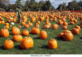 Local Pumpkin Patches Pumpkin Patches Stock Photos U0026 Pumpkin Patches Stock Images Alamy