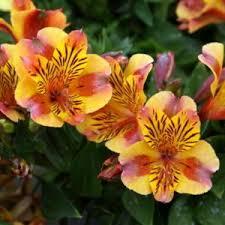 peruvian lilies peruvian alstroemeria princess lilies diana in the