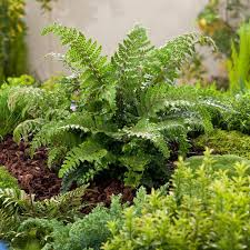 327 best gardening ferns hostas images on pinterest plants