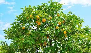 5 lemons to grow at home homehub