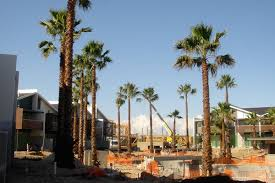mexican fan palm growth rate washingtonia semi mature and mature washingtonia robusta