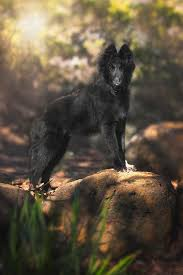 belgian sheepdog wolf mix belgian shepherd puppy in the woods photograph by wolf shadow