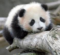 Sad Panda Meme - lol funny meme sad panda