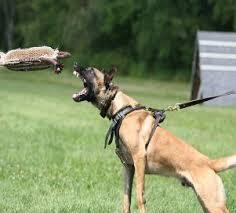 belgian shepherd washington state mason u0027s kennels malinois testimonials page