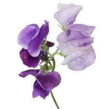 sweet pea flowers sweet pea flower