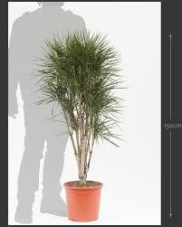 dracaena u0027spider u0027 unique indoor plant house of plants
