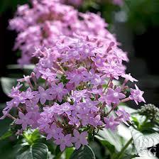 pentas flower pentas