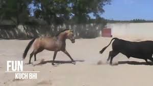 ferrari horse ferrari horse vs bull videos amazing viral video whatsapp