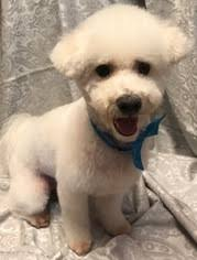 bichon frise dogs for adoption view ad bichon frise dog for adoption california los banos usa