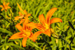 Day Lillies Flower Daylillies Duet Stock Images Image 7288464