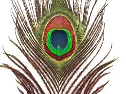 bulk purchase bulk peacock feathers moonlight feather