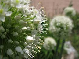 allium pskemense ornamental 20 seeds robinseeds grow a