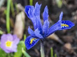 how to grow the winter flowering iris saga