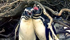 Cuckold Meme - national geographic video shows cuckolded penguins fight over