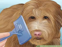 how to cut a goldendoodles hair 3 ways to groom a goldendoodle s face