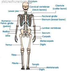 human skeleton quiz printable u2013 hd m com