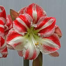 Amaryllis Flowers Amaryllis Clown Amaryllis