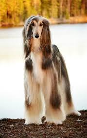 afghan hound least intelligent afghan hound afghan hound pinterest afghan hound afghans
