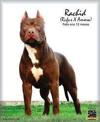 american pitbull terrier 9 meses 1524 best terriers images on pinterest american pit american
