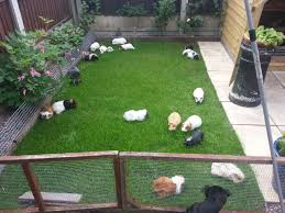 pandora guinea pig rescue as various guinea pigs n mansfield