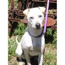 accounting resume exles australian kelpie lab shar pei dogs puppies gumtree australia free local classifieds