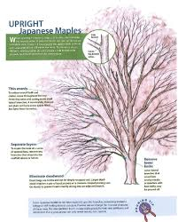 pruning handout japanese maples i u0027m intimidated i don u0027t want to