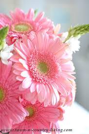 gerbera daisies why i pink gerbera daisies town country living