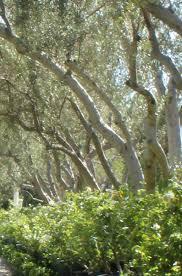 trees outdoor plant tree nursery irvine ca the nursery by